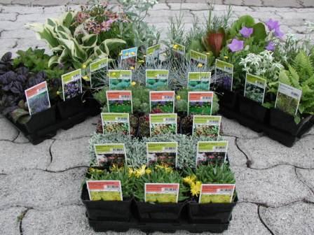Piante erbacee perenni hofer scezze produzione di piante for Piante ornamentali perenni